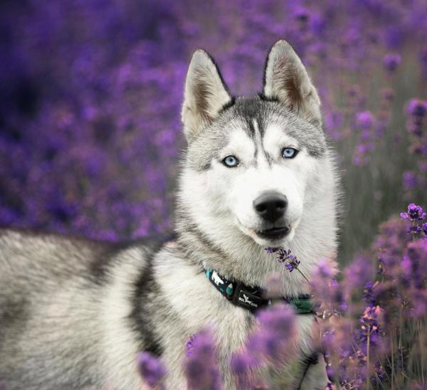 Husky kutya jegesmedve nyakörv