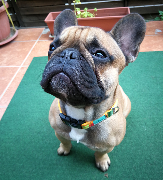 francia bulldog nyakörv