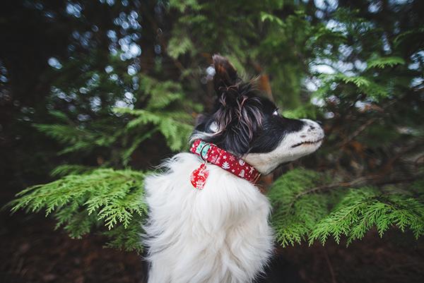 border collie karácsonyi nyakörv