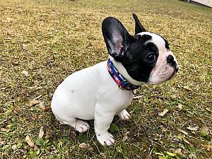 French Bulldog Collar