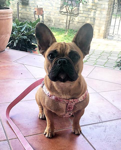 Rózsa kutyahám, 2.5 cm széles, S méret